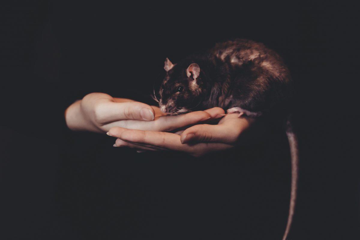 Student Rat Rat Ratty Race